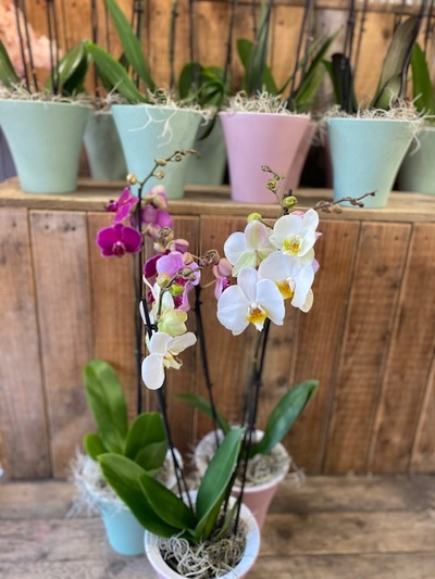 Phalenopsis Orchid plant in Ceramic Pot
